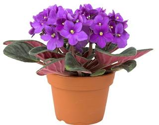 bunga-violet