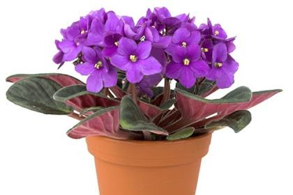 Langkah Budidaya Bunga Violet untuk Pemula