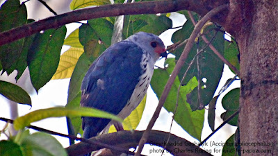 Grey-headed Goshawk in Malagufuk village of Sorong