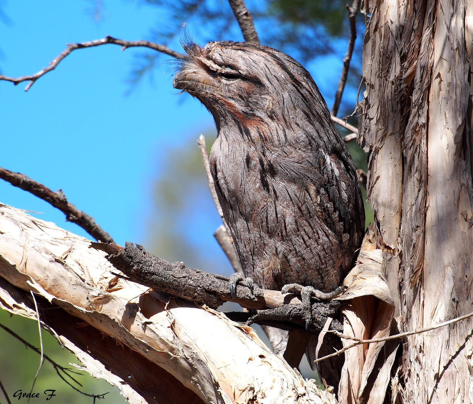 tawny frogmouth classification report Tawny frogmouths rarely catch insects on the wing as related nightjars and nighthawks do although still considered common in most parts of australia, regional population declines have been noted frogmouth mortality from road traffic, introduced predators such as cats, fox, and by secondary pesticide poisoning can be significant in some areas.