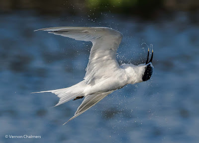 Sandwich Tern  : Canon EOS 7D Mark II / 400mm Lens