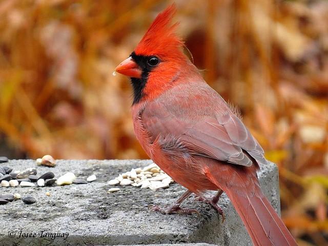 Fen tre sur mes photos cardinal rouge for Fenetre a cardinal