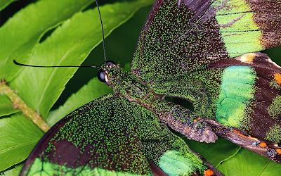 green and black butterfly widescreen hd wallpaper