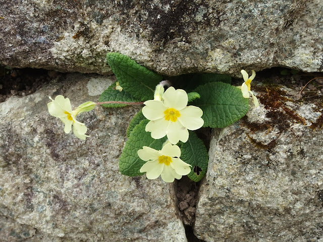 Another walled primrose at the entrance to the museum