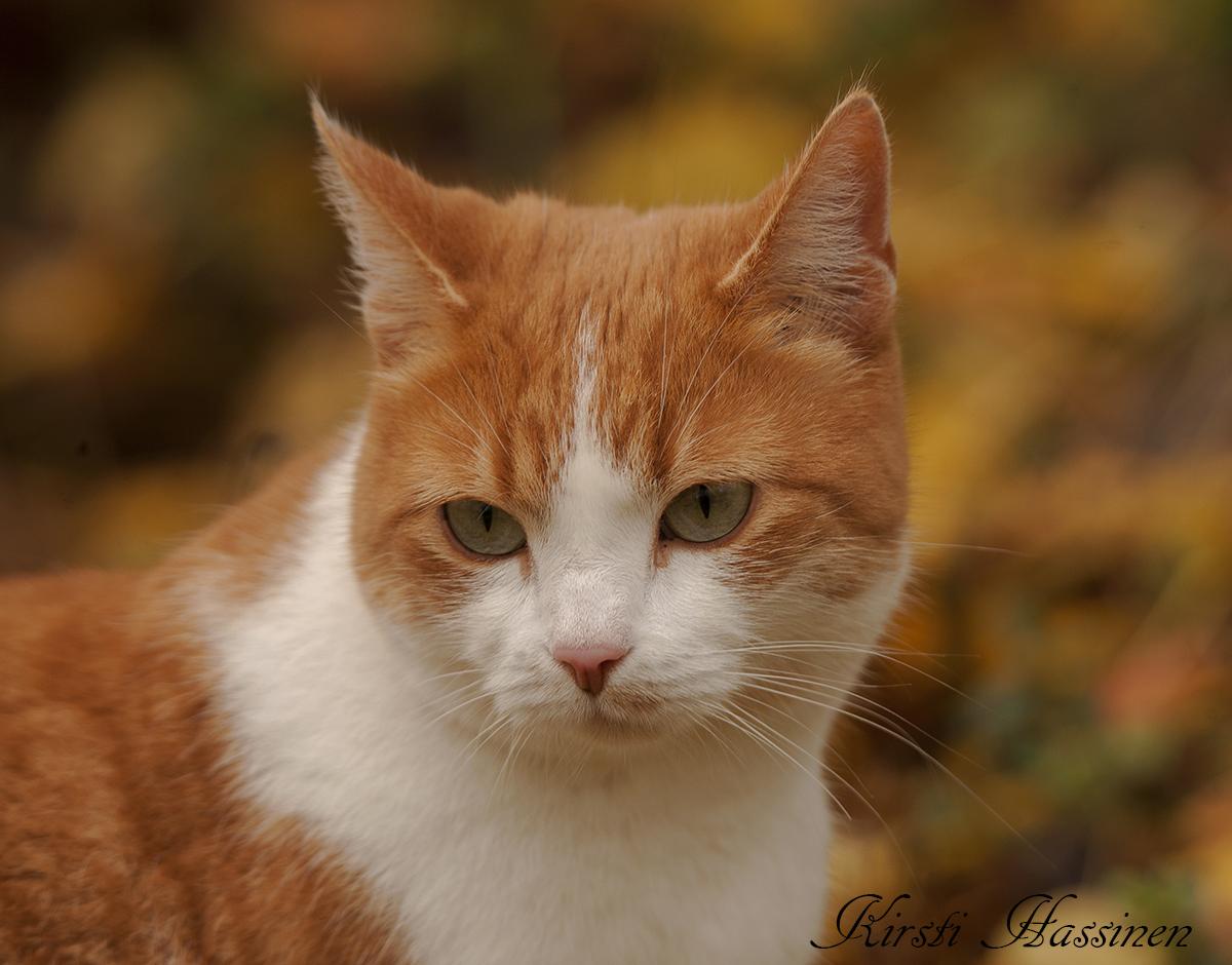 punainen kissanpentu