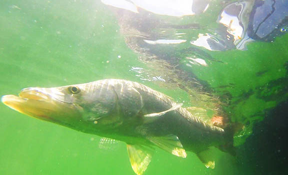 Underwater Snook GoPro Shot