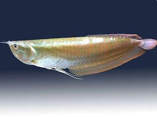 ciri-ciri-ikan-arwana-silver.jpg