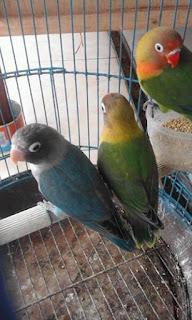 Cara merawat anakan lovebird umur 2 bulan