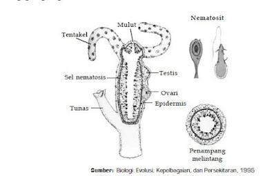 Ciri-Ciri Klasifikasi dan Contoh Spesies Hewan Anggota Filum Cnidaria Kelas Hydrozoa dan  Anthozoa dari Kingdom Animalia