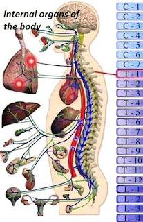 circulatory system in mammals