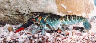 Budidaya dan Pengelolaan Lobster Air tawar  Kabar Terbaru- BUDIDAYA DAN PENGELOLAAN LOBSTER AIR TAWAR