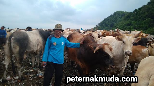 Kondisi Ternak di Tempat Pembuangan Sampah Terpadu (TPST) Piyungan