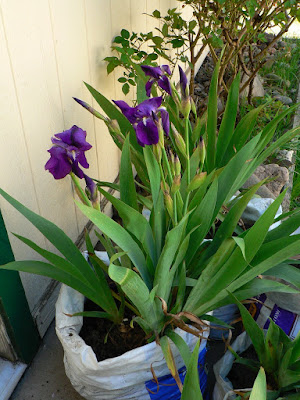 Surprisingly early blooming purple iris I had to move in April, photo ©2019 Tina M.Welter