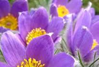نبات البنفسج  Viola تعريفة وفوائدة و الاستعمالات الطبية له