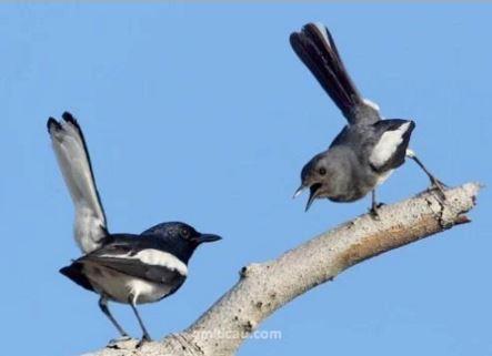 Burung Kacer Jantan Dan Betina