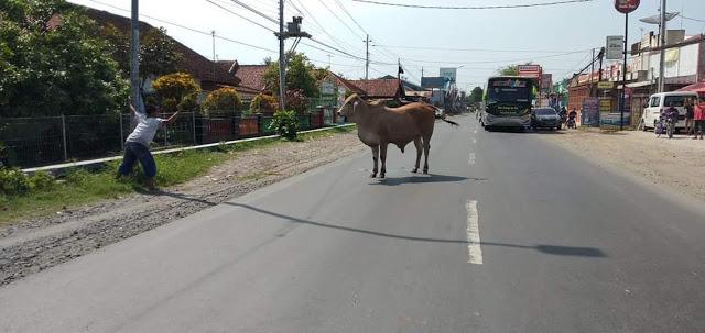 Warga Gombong Geger, Ada Sapi Ngamuk di Jalan Raya