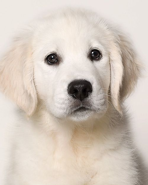 British Cream  Labrador Retriever