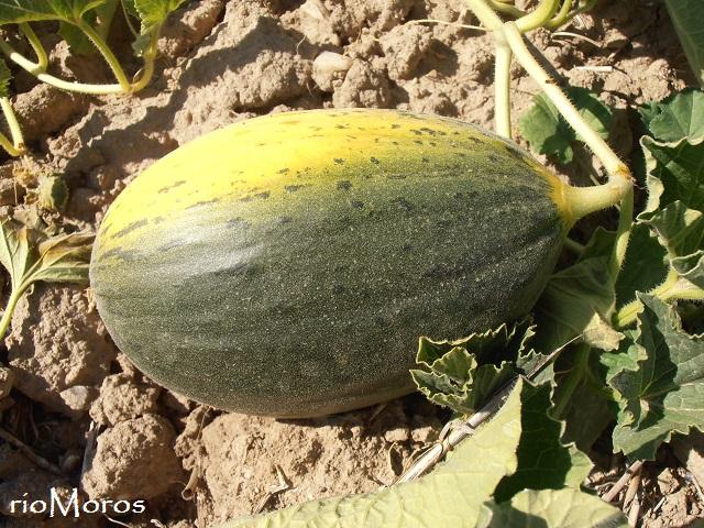 4 consejos para tener buenos melones