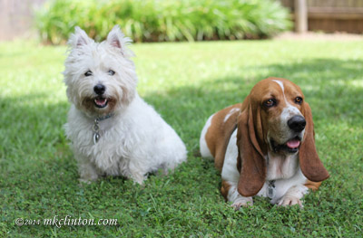 Pierre Westie and Bentley Basset Hound relaxing in the yard