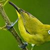 Cara Perawatan Burung Pleci Yang Macet Bunyi