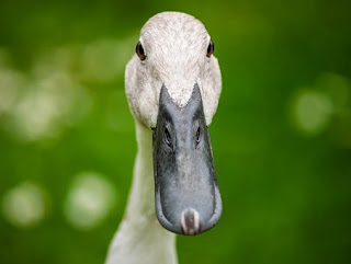 Jenis-Jenis  Bebek atau Itik Petelur
