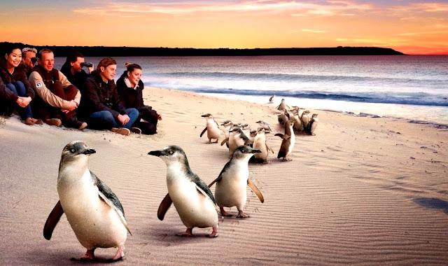 Objek Wisata Philip Island Penguins Melbourne Australia