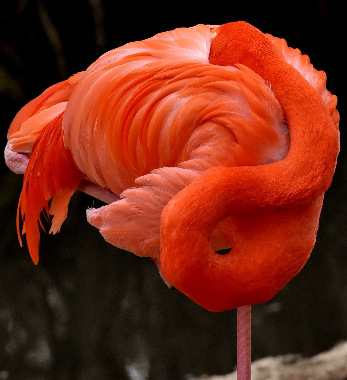 Picture of a flamingo in a poise of self embrace.