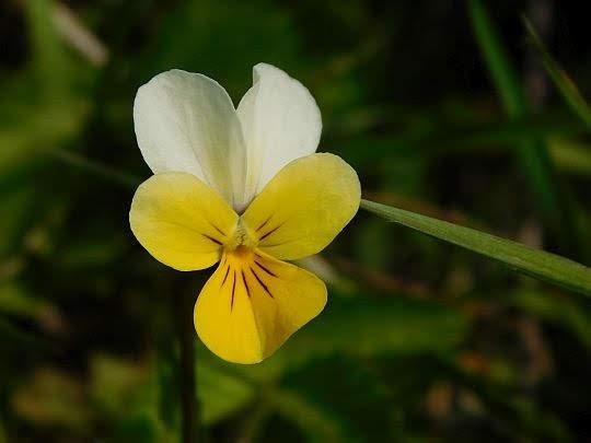 Fiołek polny (Viola arvensis).