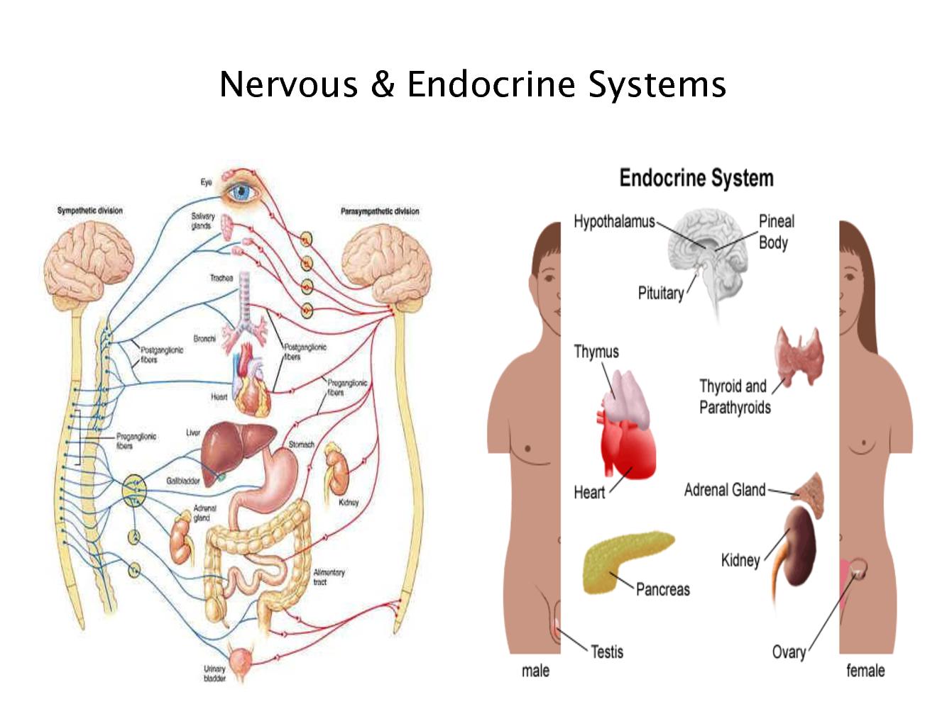 Ciencias De Joseleg Funcion Endocrina O Funcion Nerviosa