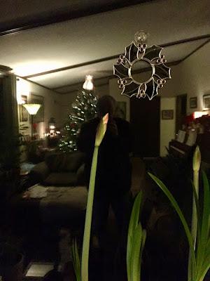 amaryllis, December 16, 2017