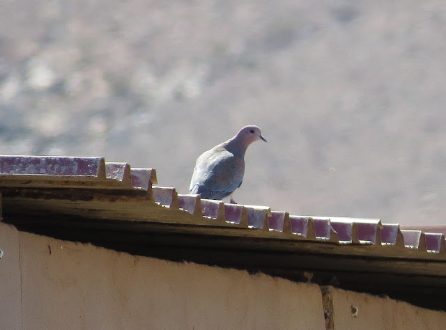 Laughing Dove - Embalse de los Molinos, Fuerteventura