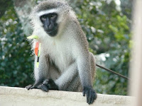 Monkey helpline monkey shot with bow and arrow in - Westville swimming pool opening hours ...