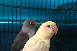 Cara memberikan mentimun untuk lovebird dan manfaatnya