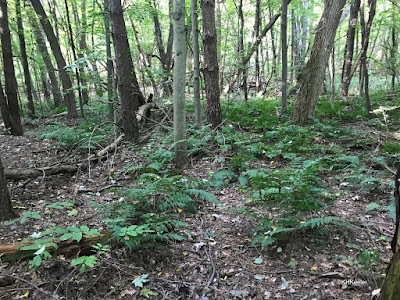 ferns in forest, Michigan