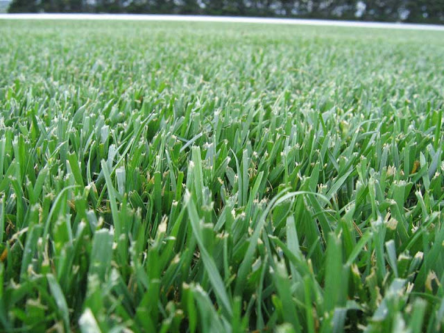 what is fescue