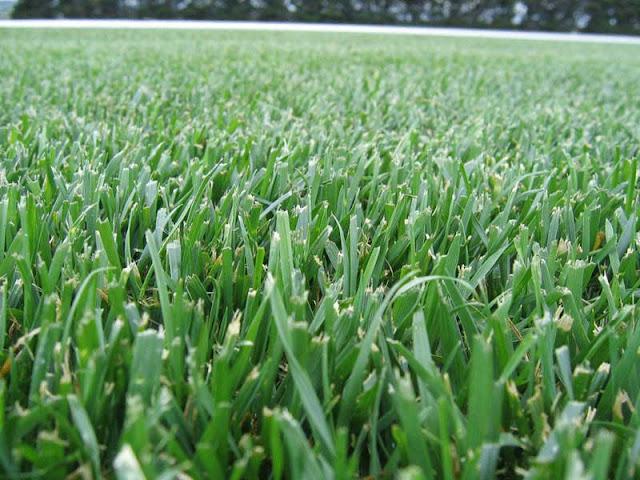 fescue,fescue lawn,types of fescue,fine fescues,fine fescue vs tall fescue,fine leaf fescue,types of fescue grass,red fescue vs tall fescue,fescue turfgrass,growing fescue grass,what is fescue