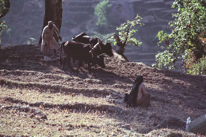 Népal, Pokhara, Annapurna, Hille, Ulleri, labours, © L. Gigout, 1990