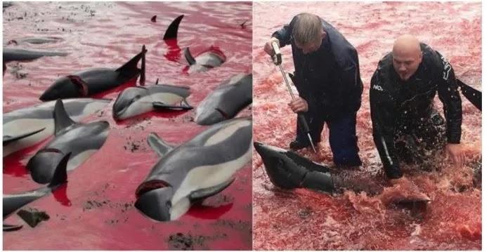Ψαράδες έσφαξαν γελώντας εκατοντάδες δελφίνια στις νήσους Φερόε