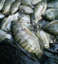 Umpan Jitu Mancing Ikan Nila Liar