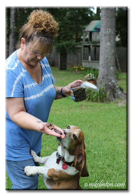 Woman in blue shirt holding Evanger's Beef Lung treats and Bentley the Basset stands up to see them