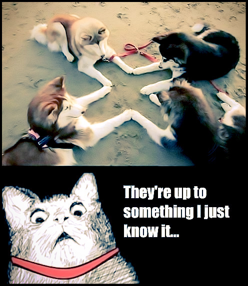 Husky Summoning Ritual | They're up to something I just know it... | #dogs #cats #adorable #funny #ritual