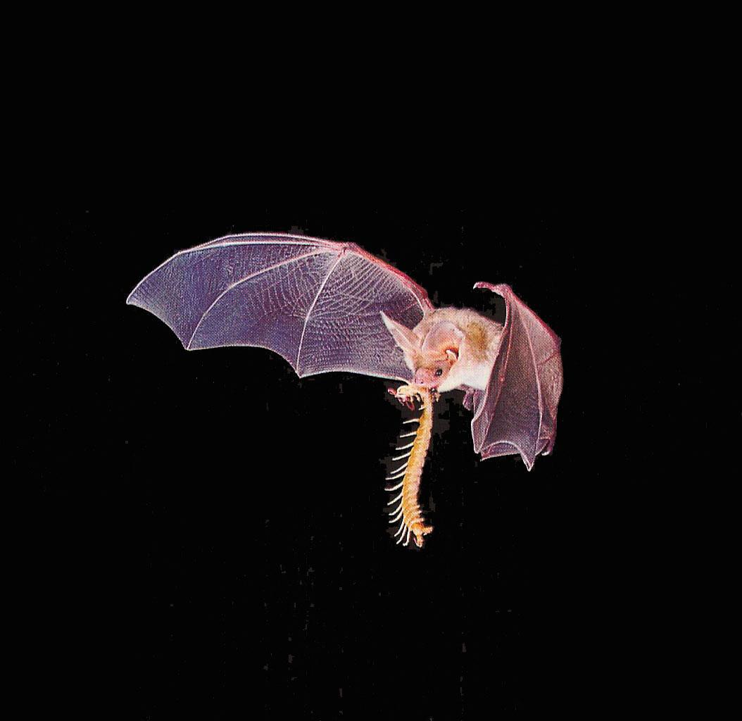 Kinzoku Bat Hd Wallpaper: Welcome To Fun2shh World: Latest Bat Flying Animal