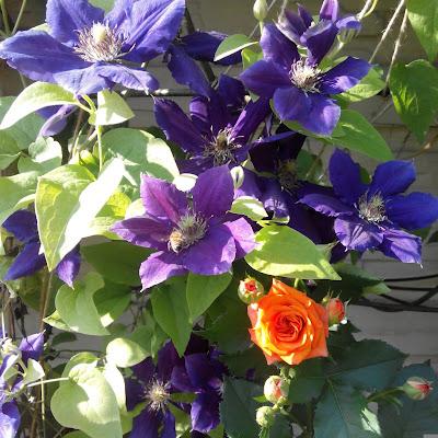 клематисы и розы в саду
