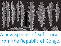 http://sciencythoughts.blogspot.co.uk/2014/12/a-new-species-of-soft-coral-from.html