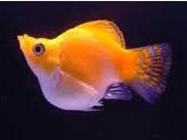 Ikan Hias Air Tawar Jenis Balon Warna kuning