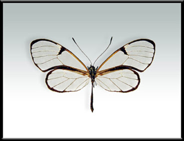Mariposa libélula Episcada hymenaea