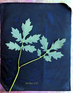 Wet cyanotype, Sue Reno, Image 41