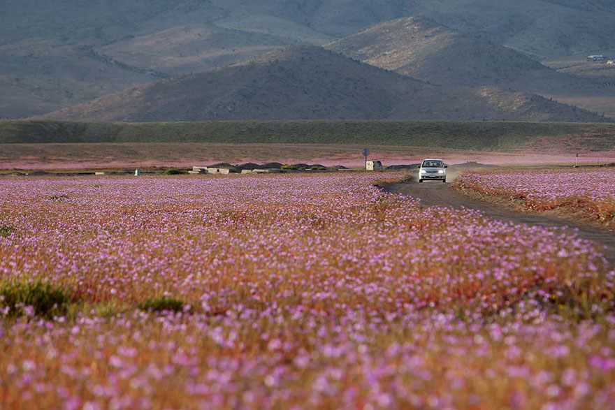 Άνθισε η πιο άνυδρη έρημος του Κόσμου! (Εικόνες)_omorfos-kosmos.gr