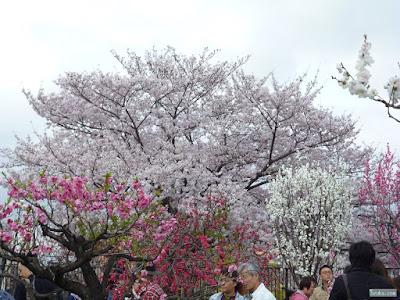 染井吉野と桃