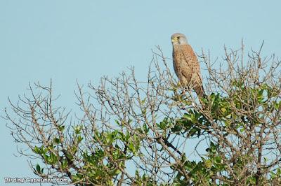 Xoriguer comú (Falco subbuteo)